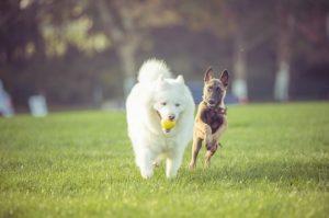 Hundetraef i Tivoli